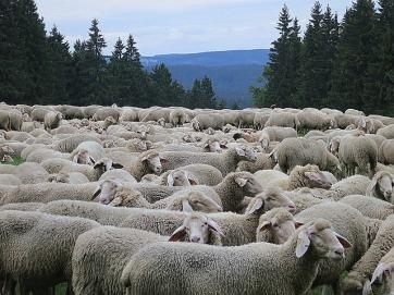 sheep-962227_640