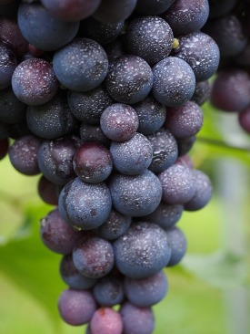 wine-berries-694185_640