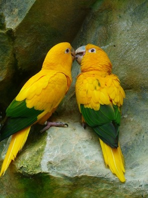 gold-parakeets-406805_640